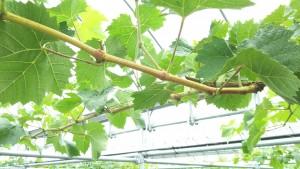 シャインマスカット枝の登熟