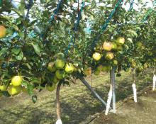 11月はリンゴ!