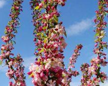 クラブアップルの花が見ごろです!