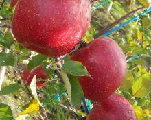 満員御礼! リンゴ狩り