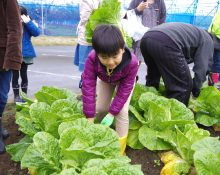 白菜収穫体験レポート ご参加ありがとうございました!